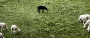 Schafe, Bild: photocase.de, krockenmitte