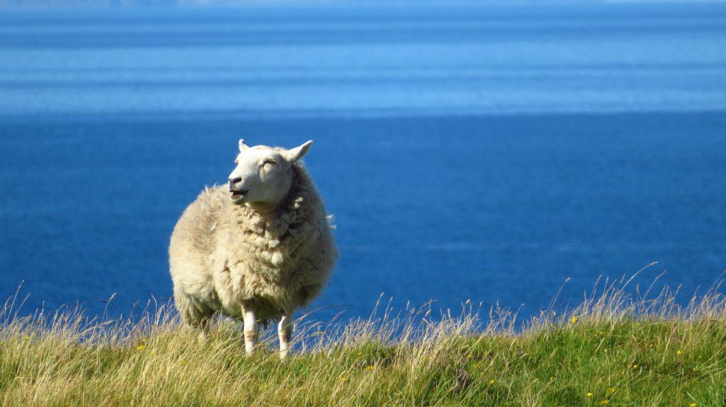 Schaf vor Meereshintergrund