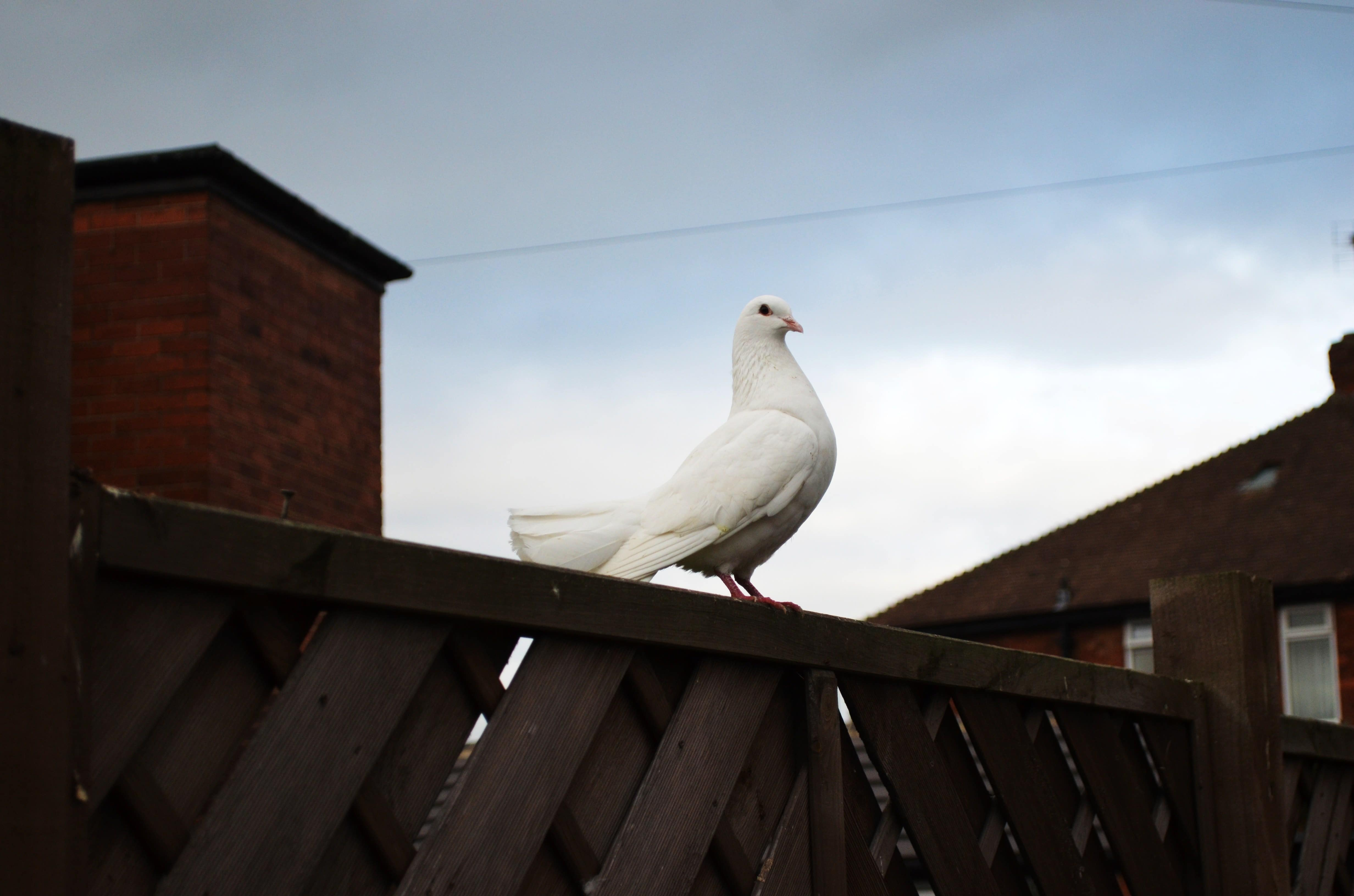 Taube auf einem Zaun