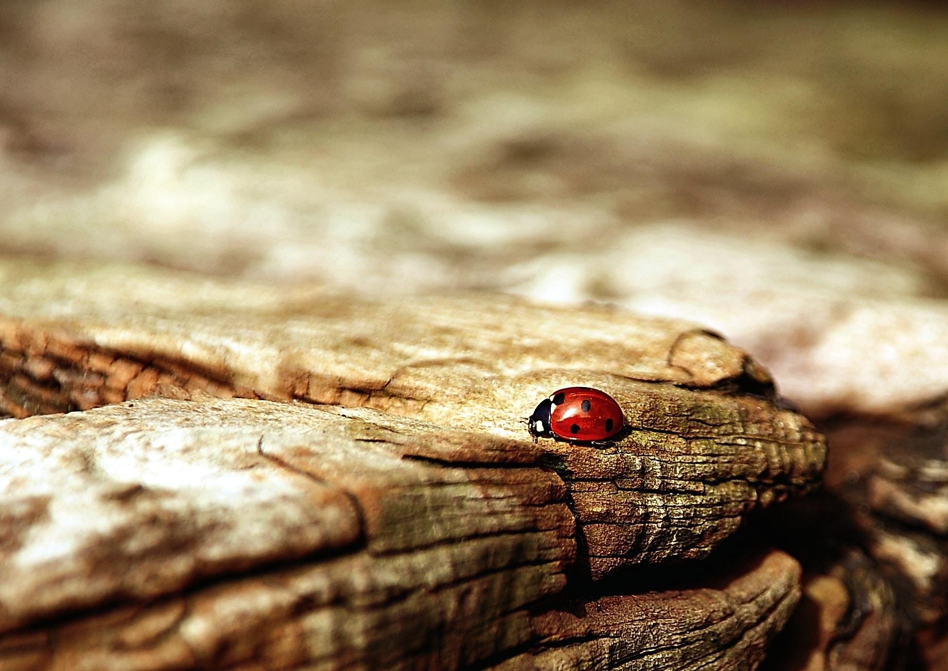 Marienkäfer auf Holz