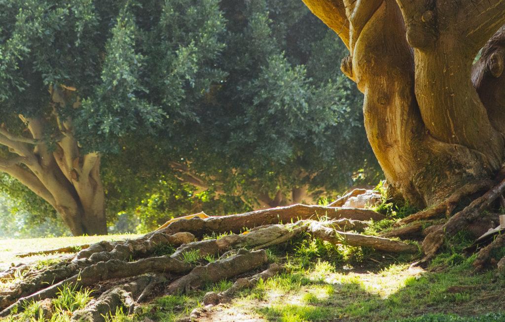 Wurzeln eines alten Baumes
