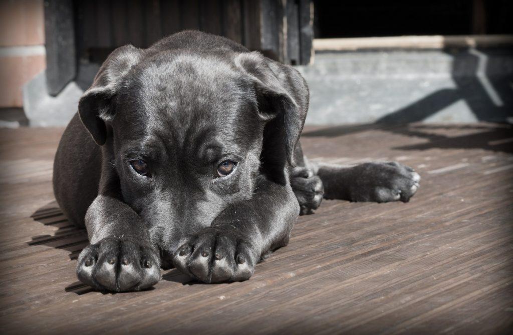 Ein kleiner Hund liegt auf dem Boden, die Schnauze in den Pfoten versteckt.