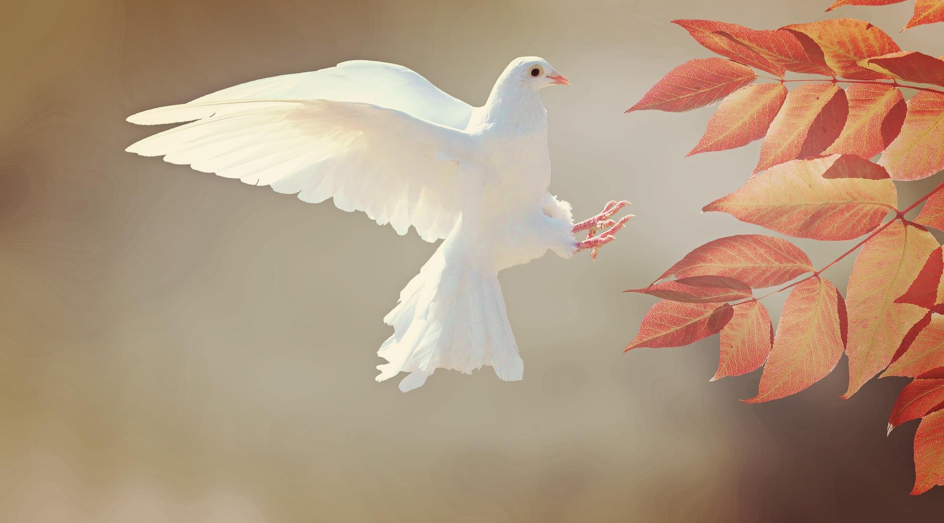 Eine weiße Taube fliegt auf einen Strauch zu.