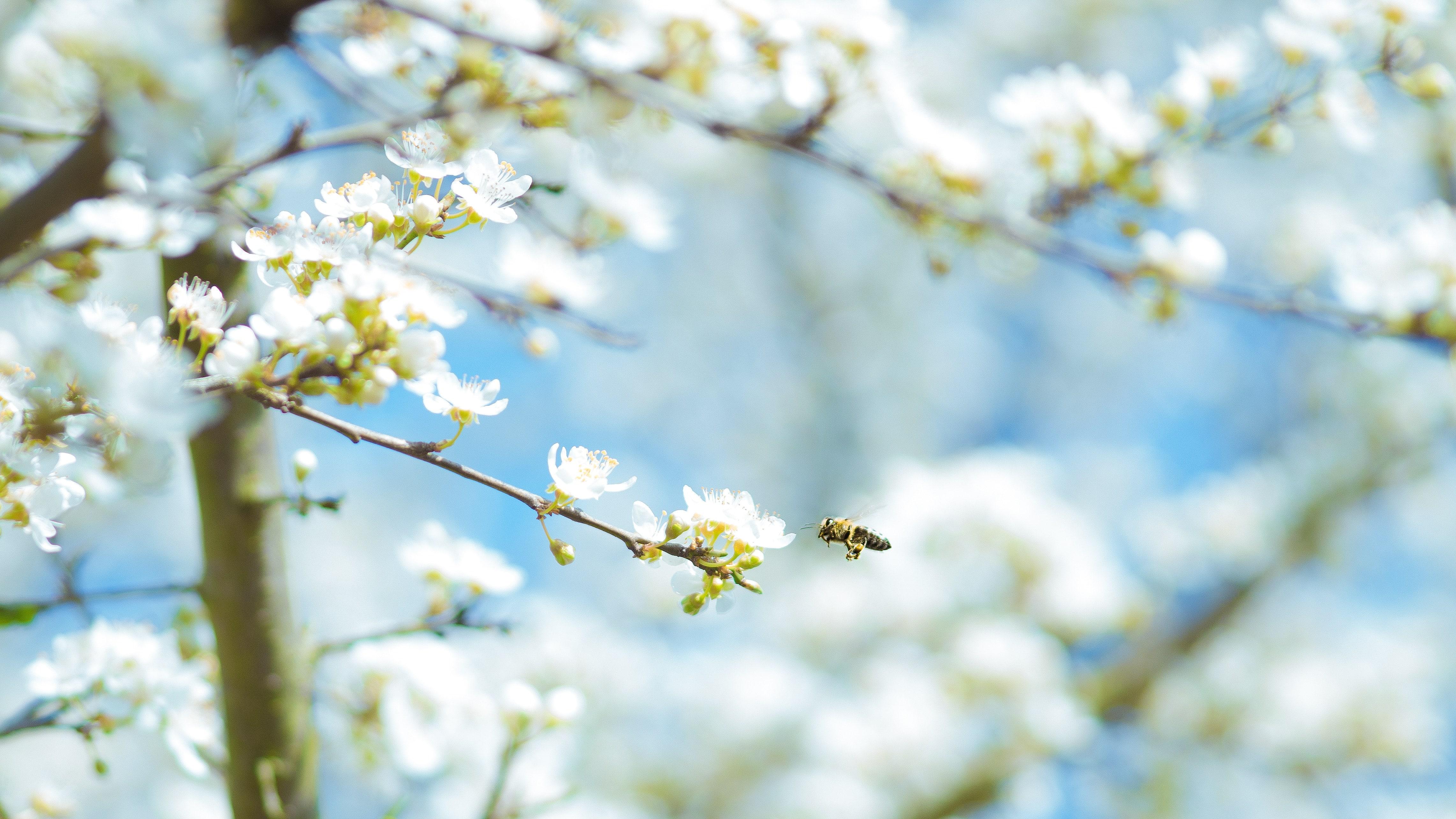 Ein blühender Baum mit Biene