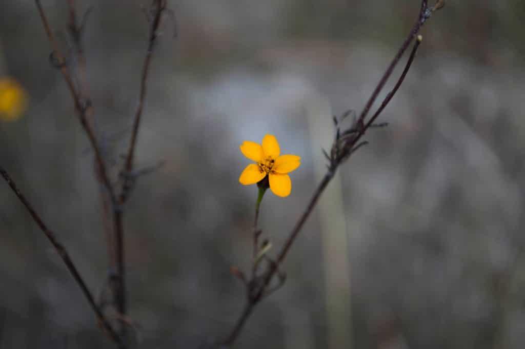 Gelbe Blume blüht an grauem Busch