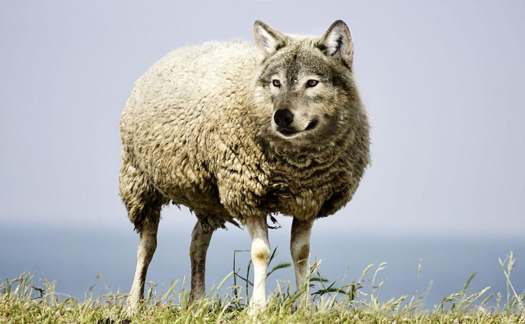 Schaf mit Wolfskopf