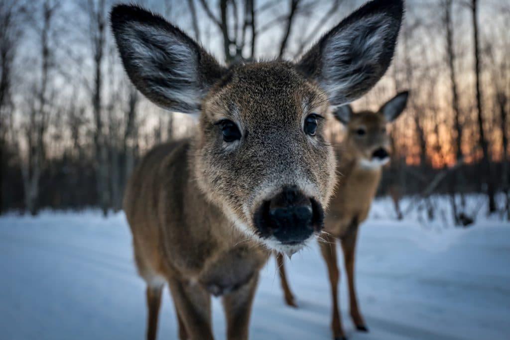 Rehe mit großen Ohren im Schnee