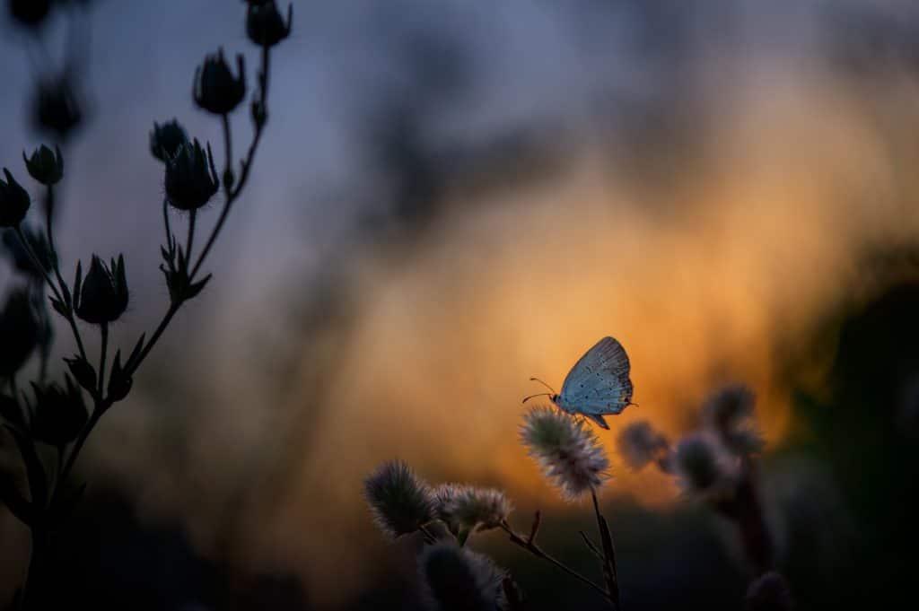 Schmetterling auf einer Pflanze bei Dämmerung