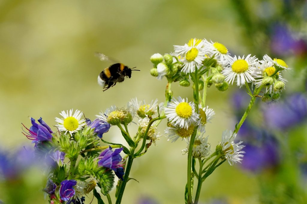 Hummel fliegt zu Blüten