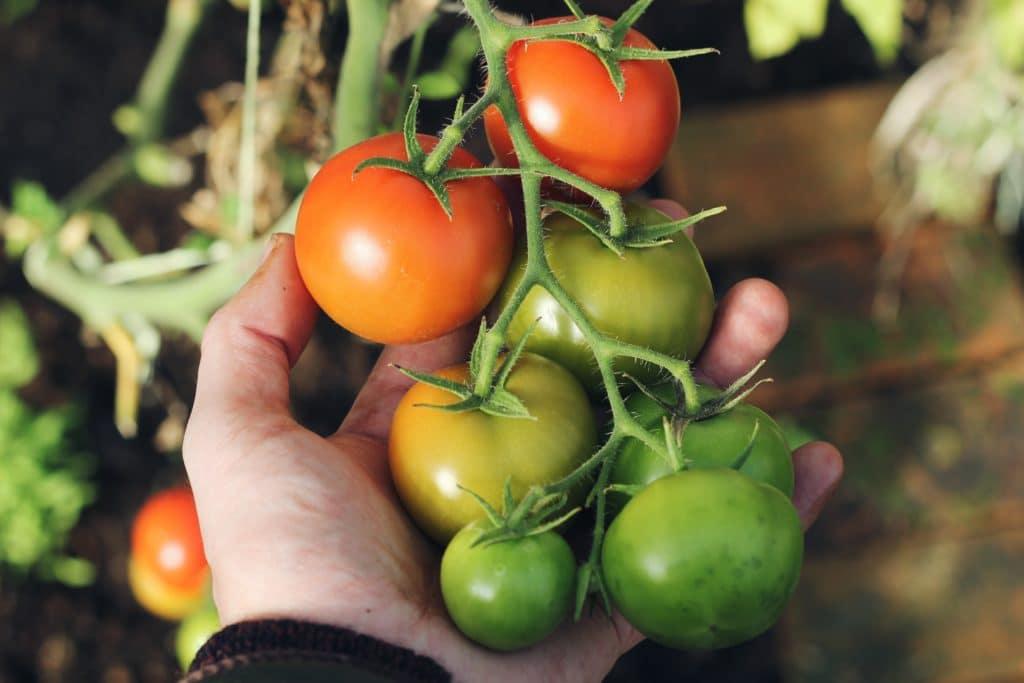 eine Hand hält Tomaten