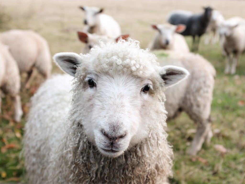 Schaf guckt in die Kamera