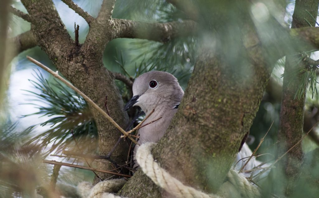 Türkentaube im Nest