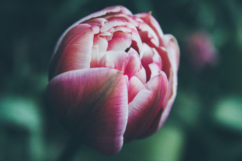 Tulpe in Nahaufnahme