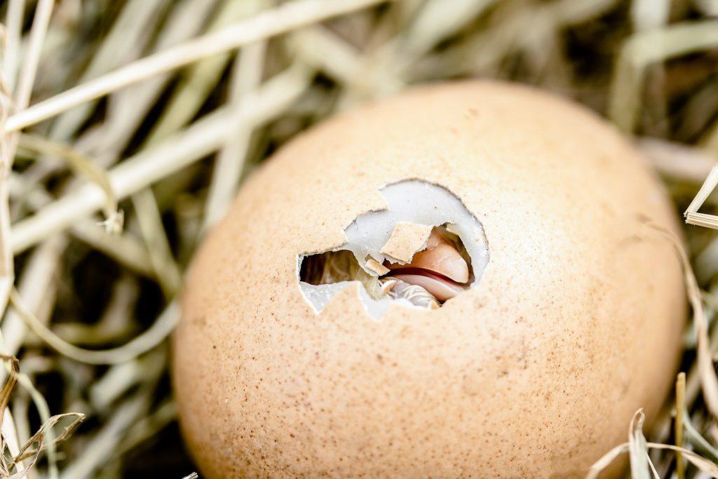 Küken schlüpft aus Ei