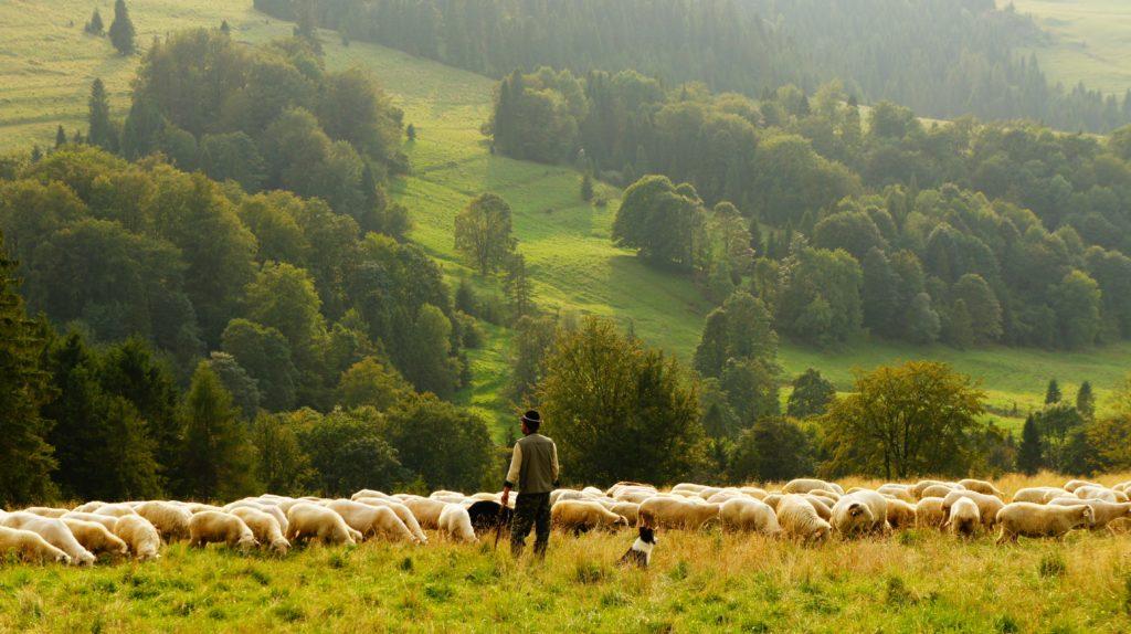 Schäfer mit Schafherde