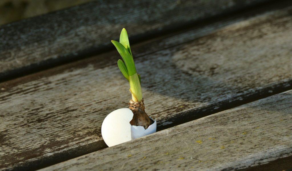Ein grüner Zwiebelsprössling wächst zwischen Holzplanken aus einer Eierschale.