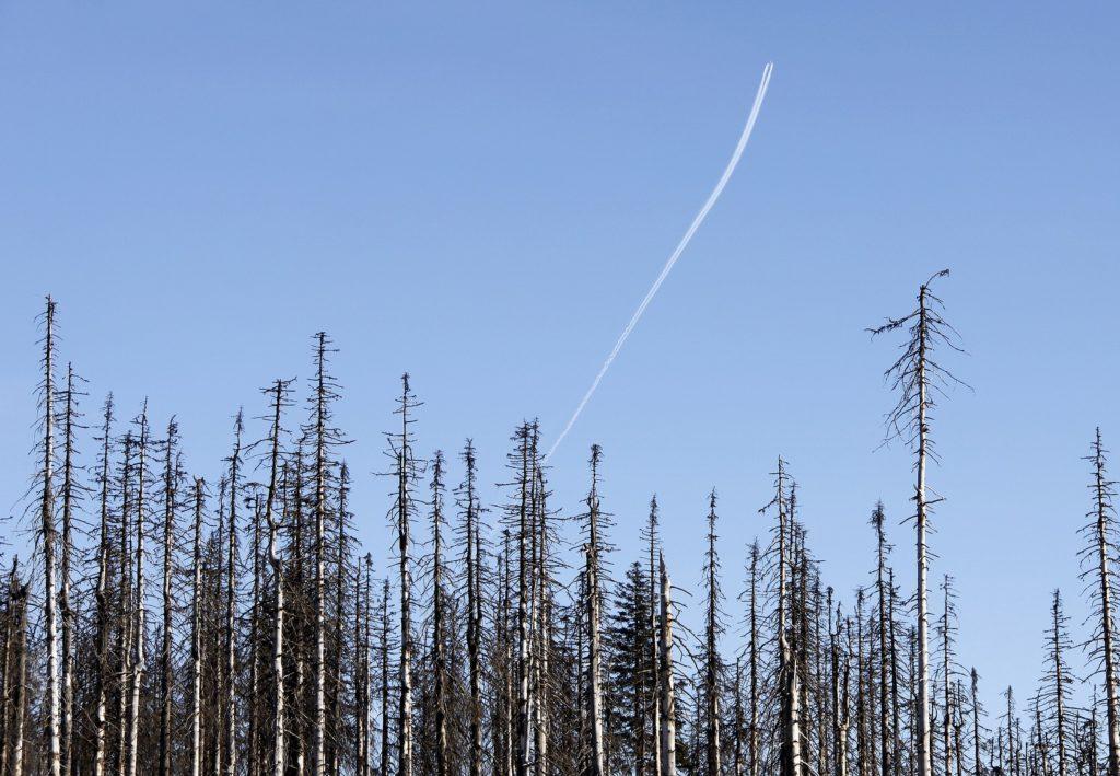 Tote Fichtenbäume